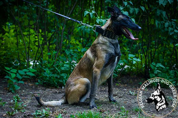 Belgian Malinois leather collar extra wide with d-ring for leash attachment for any activity