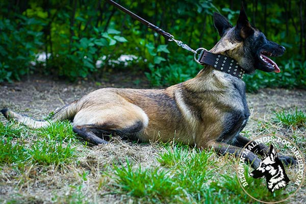 Belgian Malinois leather collar of high quality with riveted studs for daily activity