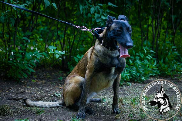 Belgian Malinois leather collar wide with handset spikes and studs  for daily walks