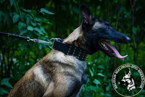Belgian Malinois leather collar of high quality with riveted fittings   for daily walks