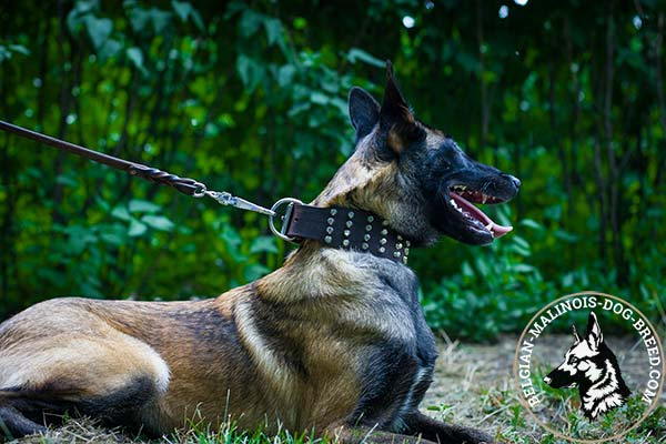 Belgian Malinois leather collar wide with handset studs for stylish walks